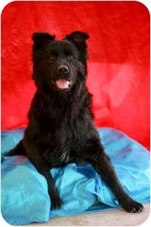Chow Chow Mix Dog for adoption in El Cajon, California - NIKO