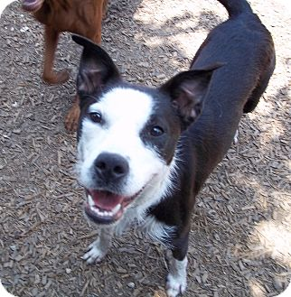 Border Collie Mix Dog for adoption in Houston, Texas - Lola