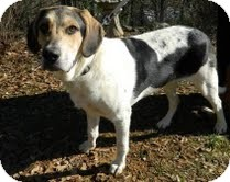 Beagle/Border Collie Mix Dog for adoption in Allentown, Pennsylvania - Bowser
