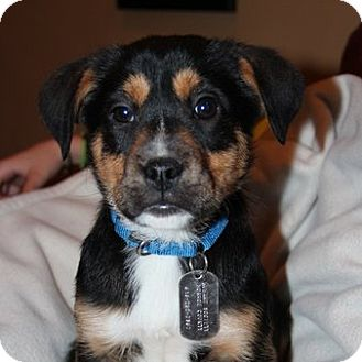 Hound (Unknown Type) Mix Puppy for adoption in Columbia, Illinois - Grant