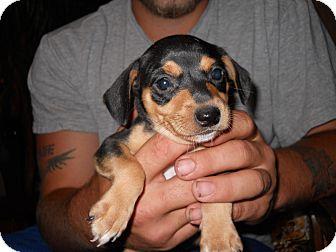 Dachshund/Miniature Pinscher Mix Puppy for adoption in springtown, Texas - batman