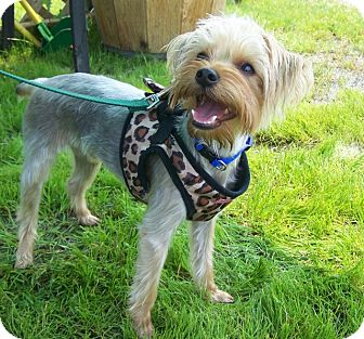 Yorkie, Yorkshire Terrier Mix Puppy for adoption in Grants Pass, Oregon - Doc