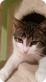 Domestic Shorthair Cat for adoption in Flushing, Michigan - Calcifer