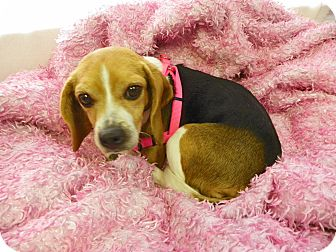 Beagle Mix Dog for adoption in Waldorf, Maryland - Nyla