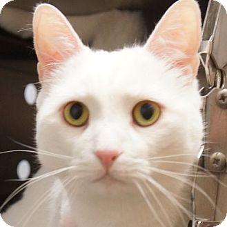 Domestic Shorthair Cat for adoption in Sprakers, New York - Sammy