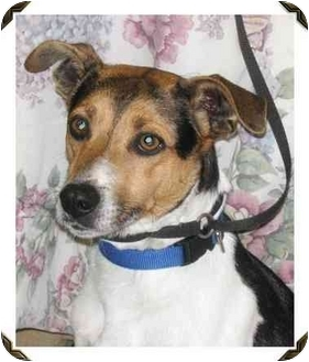 Jack Russell Terrier/Fox Terrier (Smooth) Mix Dog for adoption in METAIRIE, Louisiana - NUBBY