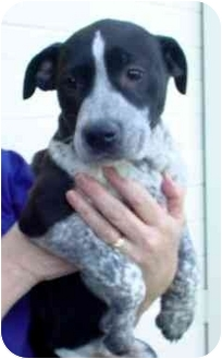 Pit Bull Terrier Mix Puppy for adoption in Tracy, California - Violet