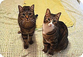 Domestic Shorthair Cat for adoption in Cheltenham, Pennsylvania - George & Jerry