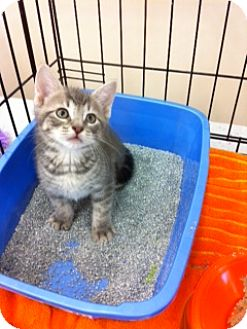 Domestic Shorthair Kitten for adoption in Horsham, Pennsylvania - Rocky