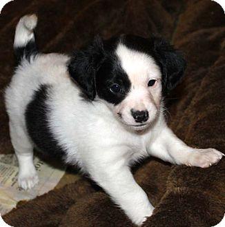 Cocker Spaniel/Golden Retriever Mix Puppy for adoption in La Habra Heights, California - Shiner