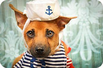 Chihuahua/Shiba Inu Mix Dog for adoption in Phoenix, Arizona - Forrest