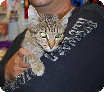 Domestic Shorthair Kitten for adoption in Brooklyn, New York - Bullseye