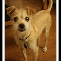 Terrier (Unknown Type, Small) Mix Dog for adoption in Winchester, California - BERNIE