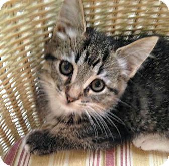 Domestic Shorthair Kitten for adoption in Toledo, Ohio - Moses