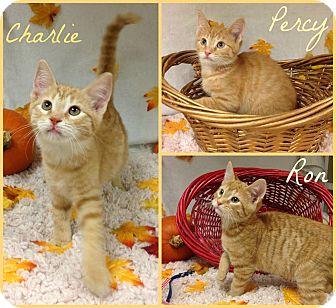 Domestic Shorthair Kitten for adoption in Joliet, Illinois - Ron