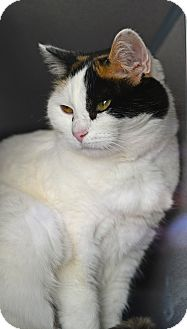 Domestic Shorthair Cat for adoption in Gardnerville, Nevada - Missy