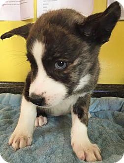 Husky Mix Puppy for adoption in Boca Raton, Florida - Jessie