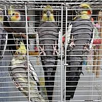 Cockatiel for adoption in North Pole, Alaska - Cockateils