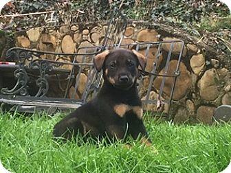 Labrador Retriever/Doberman Pinscher Mix Puppy for adoption in Allentown, Pennsylvania - Wally  (ETAA)