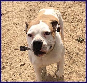 Boxer/American Bulldog Mix Dog for adoption in Boise, Idaho - Betty