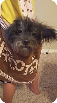 Poodle (Standard) Mix Dog for adoption in Weatherford, Texas - Sugar