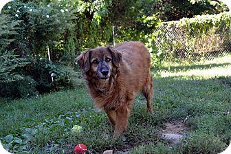 Australian Shepherd/Hound (Unknown Type) Mix Dog for adoption in Broadway, New Jersey - Maple