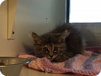 Domestic Mediumhair Kitten for adoption in Edgewood, New Mexico - Sugar