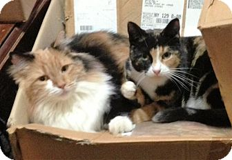 Calico Cat for adoption in Waterbury, Connecticut - Trudy&Ruthie (Sister Calicos)