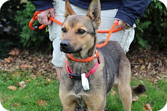Shepherd (Unknown Type) Mix Dog for adoption in Elyria, Ohio - Biscuit