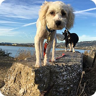 Poodle (Miniature)/Maltese Mix Puppy for adoption in Emeryville, California - LANA