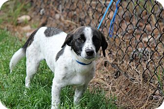 Jack Russell Terrier/Hound (Unknown Type) Mix Dog for adoption in Media, Pennsylvania - Angel