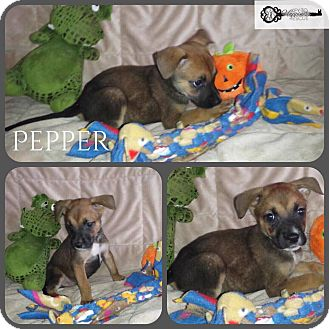 American Pit Bull Terrier Mix Puppy for adoption in DeForest, Wisconsin - Pepper