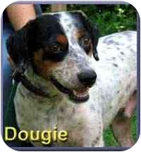 English Setter Mix Dog for adoption in Aldie, Virginia - Dougie