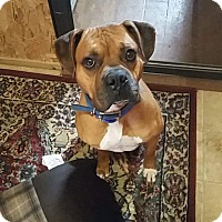 Boxer/Mastiff Mix Dog for adoption in Haggerstown, Maryland - Tyler