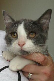 Domestic Shorthair/Domestic Shorthair Mix Cat for adoption in Menomonie, Wisconsin - Bitzi