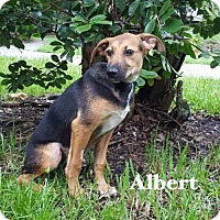 Adopt A Pet :: Albert - Naples, FL