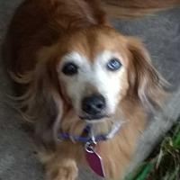 Adopt A Pet :: Jessie - Lavon, TX