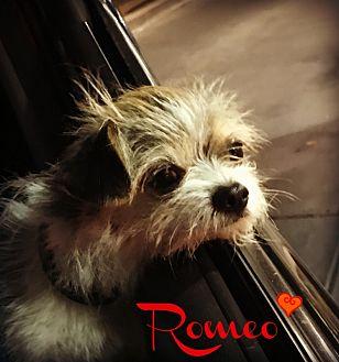 Yorkie, Yorkshire Terrier/Chihuahua Mix Dog for adoption in Phoenix, Arizona - ROMEO