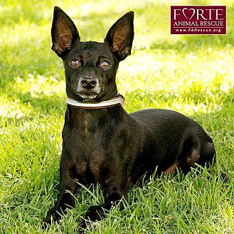 Miniature Pinscher Dog for adoption in Marina del Rey, California - Marley