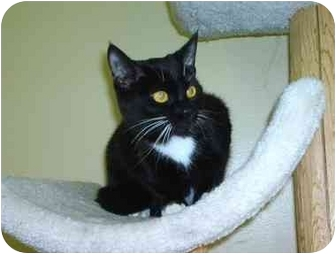 Domestic Shorthair Cat for adoption in Columbiaville, Michigan - Maui