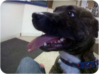 American Pit Bull Terrier Mix Dog for adoption in Bolton, Connecticut - Jack Sparrow