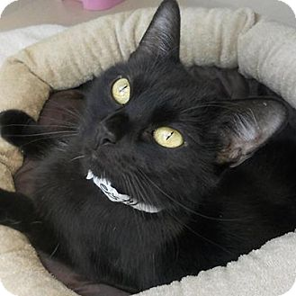 Domestic Shorthair Cat for adoption in Denver, Colorado - Feisty