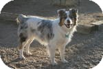 Australian Shepherd Dog for adoption in Simi Valley, California - Bo