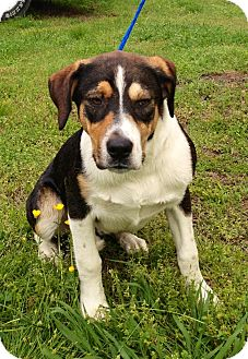 Bearded Collie/Beagle Mix Dog for adoption in Manhasset, New York - Pending -- Remington