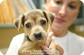 Jack Russell Terrier/Terrier (Unknown Type, Small) Mix Puppy for adoption in Madison, New Jersey - Vin Diesel