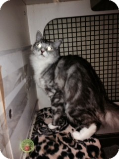 Ragdoll Cat for adoption in Pt orange, Florida - MOLLY