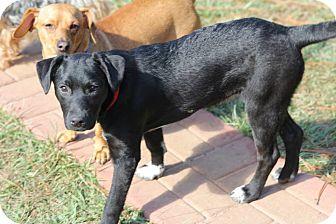 Labrador Retriever Mix Puppy for adoption in Pawling, New York - Dani