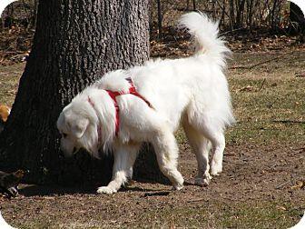 Great Pyrenees Dog for adoption in Toledo, Ohio - Nemo