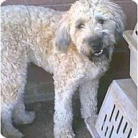 Adopt A Pet :: Winston - dewey, AZ