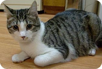 Domestic Shorthair Cat for adoption in Vancouver, Washington - Zach Braff
